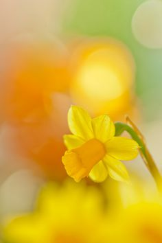 05-03-2016 Narcissis hazy yellow