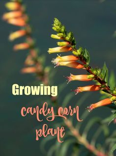 Candy corn plant is a tender perennial that has two-toned orange and yellow tubular flowers that hummingbirds and pollinators love. The color of the flowers resemble our favorite fall candy. Click through to the Gardening Cook for growing tips. #candycornplant #cupheamicropetala #flowers #gardening #cottagegardens