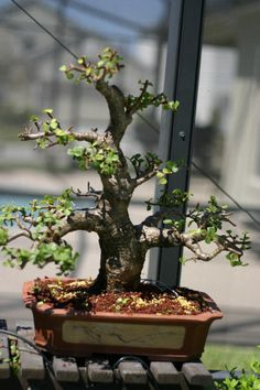 Orlando Bonsai Dwarf Jade Jade Plant Bonsai, Jade Plants, Bonsai Garden, Bonsai Plants, Bonsai Pruning, Bonsai Styles, Mini Bonsai, Plant Holders, Plant Decor