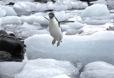 Penguins can't fly!   Copyright: nick_russill