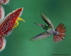 Rufous-tailed Hummingbird by Rick Dobson on 500px