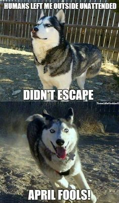 28 best images about Huskies on Pinterest