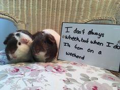 Guinea pig shaming