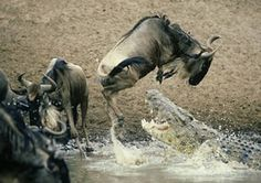 How high can you jump if there is a crocodile in the water waiting to make a meal out of you The Amazing Great Wildebeest Migration Masai Mara National Park- Kenya in a Hot air balloon Reptiles And Amphibians, Mammals, African Buffalo, Nile Crocodile, The Great Migration, Serengeti National Park, Crocodiles, Alligators, Out Of Africa