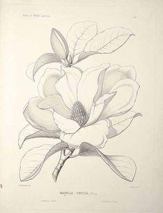 Magnolia grandiflora L. [as Magnolia foetida (L.) Sarg.] bull bay, loblolly magnolia, southern magnolia Sargent, C.S., The Silva of North America, vol. 1: t. 1 (1891) [C.E. Faxon]