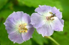 Dusky Cranesbill 'Judith's Blue' (Geranium phaeum)