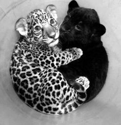 Baby Panther & Baby Jaguar