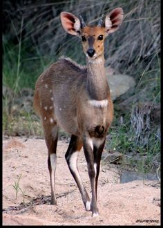 Bushbuck are very dainty! They can be found in both the Kruger Park and KZN Parks. So beautiful!