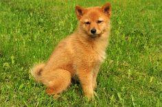 Finnish Spitz puppies   Finnish Spitz Puppy