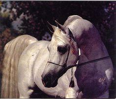Nabiel (US) Sakr {Sultann x Enayat by Morafic} x Magidaa {Alaa El Din x Maysa by Anter} Bred by Gleannloch Farms, Spring, Texas, USA.