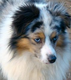 Champion Color Country's Romeo comes in at 11 inches tall. Romeo is a blue eyed, blue merle toy aussie.