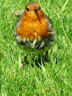 Robin (M) | Flickr - Photo Sharing!