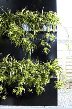 Chlorophytum - Spider Plant Back Gardens, Outdoor Gardens, Green Rooms, Green Walls, Chlorophytum, Container Gardening, Indoor Gardening, Gardening Tips, Green Environment