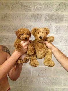 labradoodle or teddy bear.