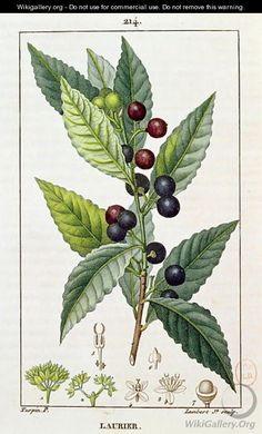 Laurel, botanical plate, c.1810 - Pierre Jean Francois Turpin