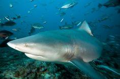 Grey Reef Shark Grey reef sharks (Carcharhinus amblyrhnchos) at a feed station. Near Namena Island, Fiji Reef Shark, Hai, Fish, Island, Sharks, Animals, Image, Trips, Destinations