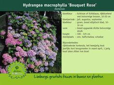 Afbeelding van http://www.limburgplant.nl/plant/HYMBROSE.jpg.