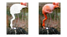 Flamingo coloring page Flamingo Coloring Page, Zoo Animal Coloring Pages, Zoo Animals, Colored Pencils, Colouring Pencils, Crayons
