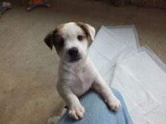 Gretel is an adoptable Labrador Retriever Dog in Hamburg, PA.  Introducing Gretel! Gretel is just the cutest little brown and white spotted puppy there is! She is a really cool colored mixed breed....
