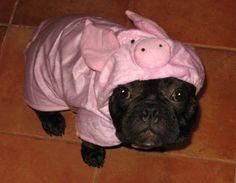 """Uhmmm, Oink?"" Jasper, the French Bulldog on Piggy Costume."