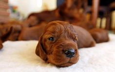 Hey, little buddy. Irish Setter puppy.