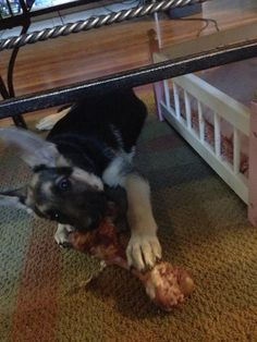 Ham bone. 13 weeks!