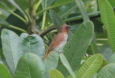 Wood Thrush spotted in Bangalore