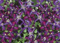 Kärhö 'Sweet Summer Love' on ensimmäinen ihanasti tuoksuva klematis, jolla on hyvin värikkäät ja isohkot kukat. Jalostaja paljastaa että 'Sweet Summer Love' on sukua tuoksukärhölle, mutta muut sukupuun jäsenet jäävät salaisuudeksi. Kukkien tuoksu on sekoitus orvokkia, vaniljaa ja mantelia. Lajike kukkii keskikesästä syksyyn niin ylenpalttisesti, että yhdestä taimesta on laskettu 1000 kukkaa! Terälehdet ovat nuppuisina syvänpunaiset, avoimina puna–sinivioletit.