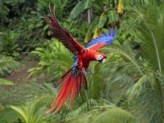 Nariva Swamp Trinidad Blue and Yellow Macaw | Scarlet Macaw Latest Facts | All Wildlife Photographs