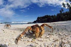 coconut-crab-20