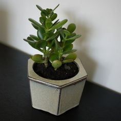 The Jade Plant is a fantastic indoor succulent plant that stays green year round. Colorful Succulents, Hanging Succulents, Succulents Diy, Growing Succulents, Jade Succulent, Succulent Terrarium, Jade Plant Care, Jade Tree, Crassula Ovata