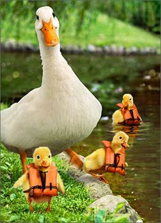39 best avanti greeting cards images on pinterest funny animals mom with baby ducks 1 card1 envelope avanti funny mothers day card m4hsunfo