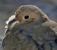 Mourning Dove. by Viana Oliver