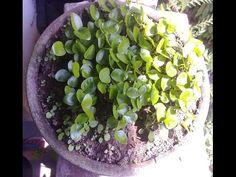 Menanam Biji Kemuning (Murraya paniculata) Untuk Bakalan Bonsai