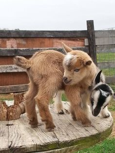 Two bundles of bouncing Pygmy goats.You can find Pygmy goats and more on our website.Two bundles of bouncing Pygmy goats. Cute Baby Animals, Farm Animals, Animals And Pets, Funny Animals, Tiny Goat, Pigmy Goats, Goat Care, Nigerian Dwarf Goats, Cute Goats