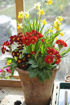Potted spring bulbs: For a zingy spring display try this vibrant combination of bright yellow daffodils and red primulas. Find out how at http://www.gardenersworld.com/plants/pots-containers/bulbs/daffodil-and-primula-pot-display/1153.html  Photo by Jason Ingram.