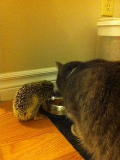 My friend's hedgehog and cat sharing food - Imgur