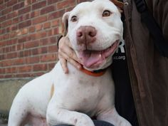 """♥ SAFE ♥ SUPER URGENT – IRRESISTIBLE STRAY SPIRIT (A1095248) – 3-years-old SPAYED girl, came to Brooklyn ACC as a STRAY that was found. However, Spirit is irresistible! """"When I approach her cage her wiggly tail thumps against the wall and she is always checking in outside: https://youtu.be/g3zFk-HNrt8  She has been very easy to handle & seems to have housetraining."""" ♥ LITTLE SPIRIT IS LOOKING FOR A PLACE IN THIS BIG WORLD TO CALL FOREVER HOME ♥ http://nycdogs.urgentpodr.org/spirit-a1095248/"""