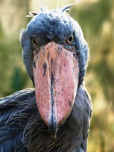 Shoebill (Balaeniceps rex) Photo by Zuzana Drotárová -- National Geographic Your Shot