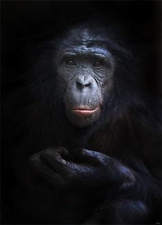 animals-primaten-frankfurter-zoo-bonobo-bonobo-mann-417.jpg (300×417)