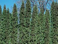 Arborvitae Trees.  These can get up to 30 feet tall!