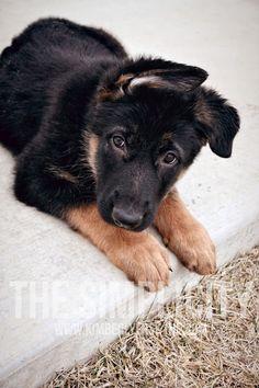 Blu Wilhelm #germanshepherd #dog