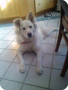 Hebron, KY - American Eskimo Dog/Golden Retriever Mix. Meet Calamity (Ellie) a Dog for Adoption.