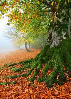 Moss covered tree roots amongst the autumn leaves. By Seyed Mohammad Shamsi Foto Nature, All Nature, Amazing Nature, Beautiful World, Beautiful Places, Beautiful Pictures, Gorgeous Gorgeous, Nature Pictures, Amazing Places