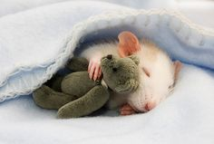 So cute! Pet rat with tiny teddy bear.