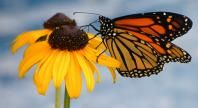 Monarch Butterfly | Basic Facts About Monarch Butterflies | Defenders of Wildlife