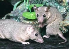Short Tailed Opossums are from South America, and their bodies are 4-6 in. long. They are marsupials, although they do not have a pouch like most marsupials. However, their young are born quite premature and helpless, latch on to a nipple on their mother's abdomen, and stay there until they are further developed. In the wild they will eat insects, spiders, and rodents, and so are actually welcome house guests in their native countries.