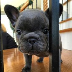 Tootsie, the French Bulldog Puppy❤️ @tootsielee_thefrenchie #Buldog