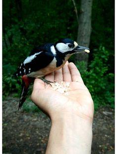 Tikka ajoi muut linnut pois paikalta. Blue Jay, Bird, Animals, Animales, Animaux, Birds, Animal Memes, Animal, Animais