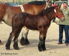 Konie zimnokrwiste - bloog.pl